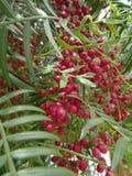 Pieprzowa roślina Zdjęcia Royalty Free