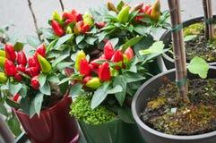 Pieprzowe dekoracyjne rośliny przy kwiaciarnią Zdjęcie Royalty Free