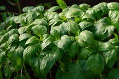 Pieprzowe rozsady w górę młodych liści pieprz, świeży wiosny tło Rozsady w szklarni zdjęcie stock