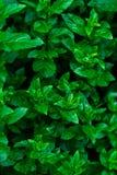 Pieprzowi nowi liście przy naturą Zdjęcia Royalty Free
