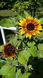 Pierścionek ogieni słoneczniki Fotografia Royalty Free