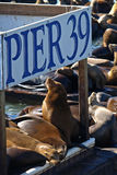 PIER 39 & Sea lion. This is PIER 39 and the sea lions in San Francisco Royalty Free Stock Photos