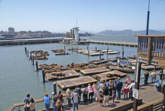 Pier 39 Sea Lions. Famous San Francisco Pier 39 hosts dozens of sea lions lolling about on floating wooden piers. Crowd is gathered to watch Royalty Free Stock Photos