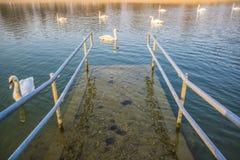 Pier en zwanen, Bundek-meer, Zagreb, Kroatië royalty-vrije stock afbeeldingen