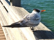 Pier Residents. Florida, birds, beach, fishing Stock Photography