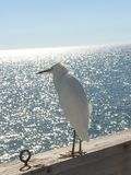 Pier Residents. Florida, birds, beach, fishing, gulf, pier Stock Photography