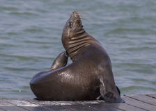 Pier 39 Sea Lion Royalty Free Stock Photo