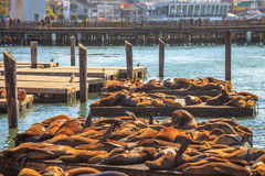 Pier 39 Sea lions. Crowds of sea lions at Pier 39 in San Francisco. Pier 39 is popular tourist attraction in San Francisco, California, United States. Travel Royalty Free Stock Photography
