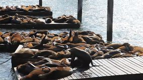 Pier 39 Sea lions stock video