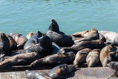 Pier 39 sea lions in San Francisco stock photos