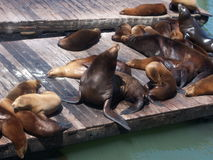Sea Lions at Pier 39 Stock Photo