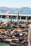 Pier 39 Seals with Bridge in Background Royalty Free Stock Photo