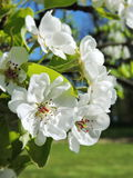 Pier tree blooms in spring Stock Images