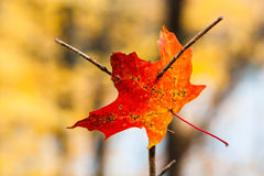 Pierced maple leaf in autumn. Fallen colorful autumn maple leaf Royalty Free Stock Image