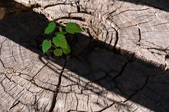 Pierces the germ of an old stump as a symbol of a new business, Royalty Free Stock Image