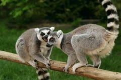 pierścień lemur małpy śledzić Obraz Royalty Free