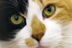 Piercing cat eyes. Inquisitive calico cat close-up portrait Royalty Free Stock Photography