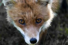 Piercing eyes. The piercing eyes of a fox Royalty Free Stock Image
