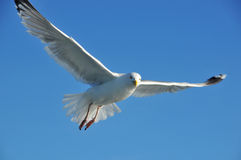 Piercing Gaze. The piercing gaze of a seagull as it watches for food behind a fishing boat Royalty Free Stock Image