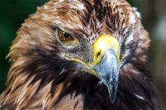 Piercing look of the eagle in the very essence stock photo