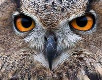 Piercing owl eyes. Close up of owl eyes Royalty Free Stock Photos