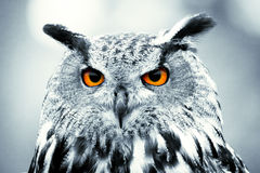 Piercing owl eyes. Full front owl eyes with selective colour Royalty Free Stock Photos