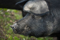 Piercing pig Royalty Free Stock Photos