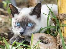 Piercingly Blue Eyes. Stray cat at the University of Hawaii at Manoa in Honolulu, Hawaii Royalty Free Stock Image