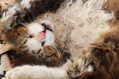 Pierda-para arriba de un gato el dormir, un gato ha encontrado su hogar y es animales felices del rescate de la calle foto de archivo