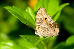 A Pieridae butterfly Royalty Free Stock Photography