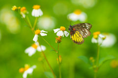 Pieridae butterfly Stock Photo