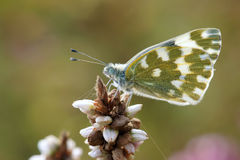 Pieridae Butterfly Stock Image
