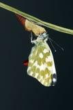 Pieridae butterfly Stock Photos