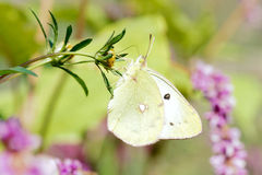 Pieridae butterfly Royalty Free Stock Images