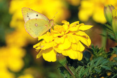 Pieridaevlinder Royalty-vrije Stock Afbeelding
