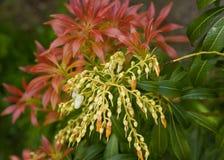 Pieris森林火焰庭园花木。 图库摄影