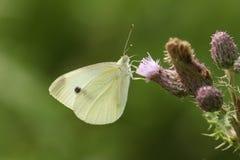 Pieris ładni Wielcy Biali Motyli brassicae nectaring na osecie kwitną zdjęcia royalty free
