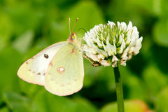 Pieris Stock Photography
