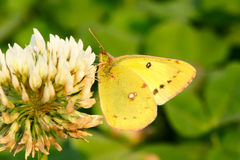 Pieris royalty free stock photo