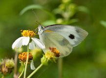 Pieris Stock Image