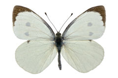 Pieris brassicae Royalty Free Stock Photo