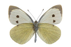 Pieris brassicae Royalty Free Stock Photography