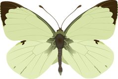 Pieris brassicae Royalty Free Stock Image