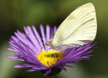 Pieris Brassicae Royalty-vrije Stock Foto's