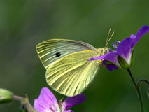 Pieris brassicae. Stock Photo