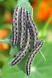 Pieris Brassicae Obrazy Stock