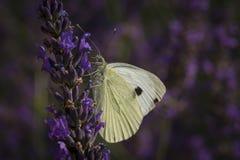Pieris brassicae auf purpurroter Blume Stockbilder