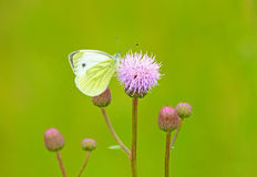 Pieris brassicae butterfly Stock Images