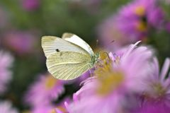 Pieris brassicae butterfly flower blooming nectar close-up royalty free stock photography