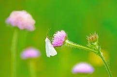 Pieris brassicae butterfly on flower Royalty Free Stock Photo